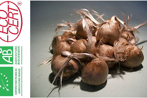 1000 bulbi bio crocus sativus 10-11