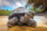 Galapagos Islands.jpg Galapagos tortoise