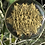 Thumbnail: Orgone Golden Micro Equilibrium Vector