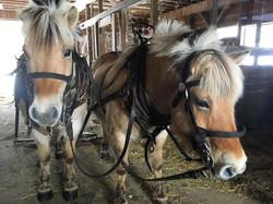 KB Fjord Horses