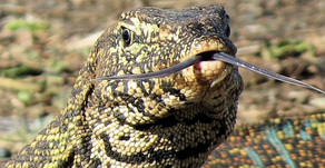 MONITOR LIZARD FACTS