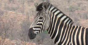 ZEBRAS IN THE KRUGER – JUST HORSING AROUND?