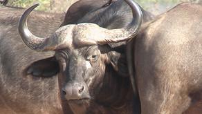 Walking safaris in the Kruger Park