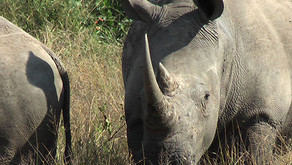 VALENTINE'S DAY RHINOS – BEHAVIORAL ENCOUNTERS IN THE KRUGER PARK