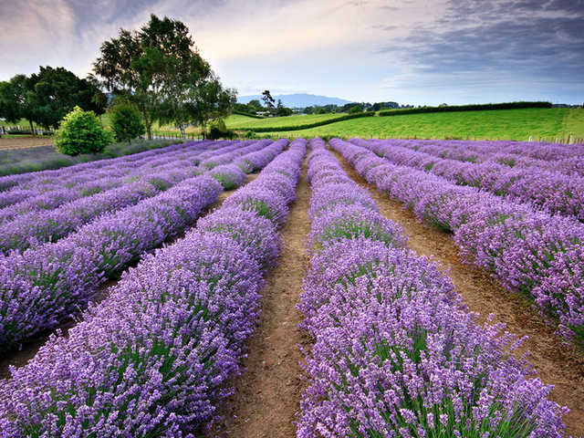 9 Banded Essential Oils lavender field