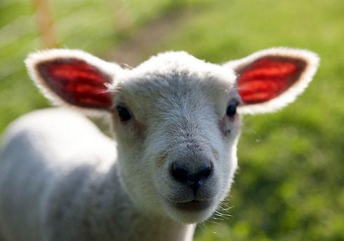 Little Lamb_edited_edited.jpg