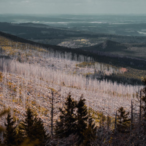 Baumsterben im Harz