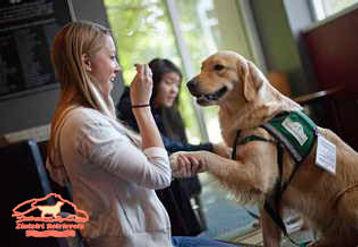 Golden Retriever perro de terapia