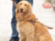 Golden Retriever como perro guía