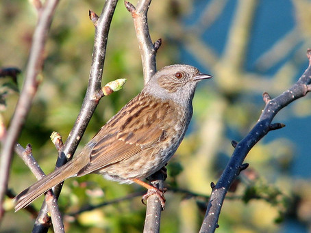 The One-Eyed Dunnock