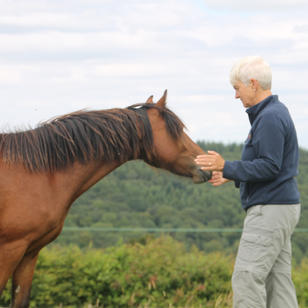 Healing a Welsh mountain pony in Wales