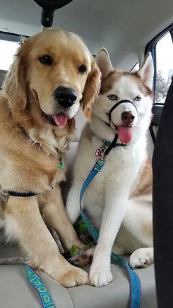 husky & golden retriever
