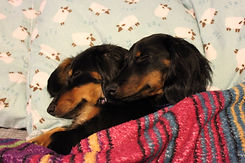 dachshund cuddles