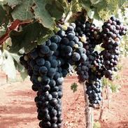 Willcox: grapes on vine