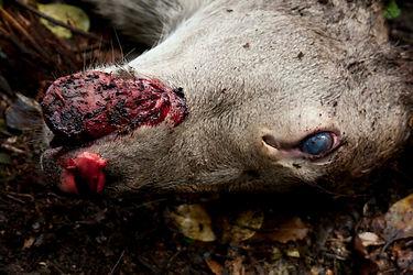aus Poisoned hind westland - inhumane lo