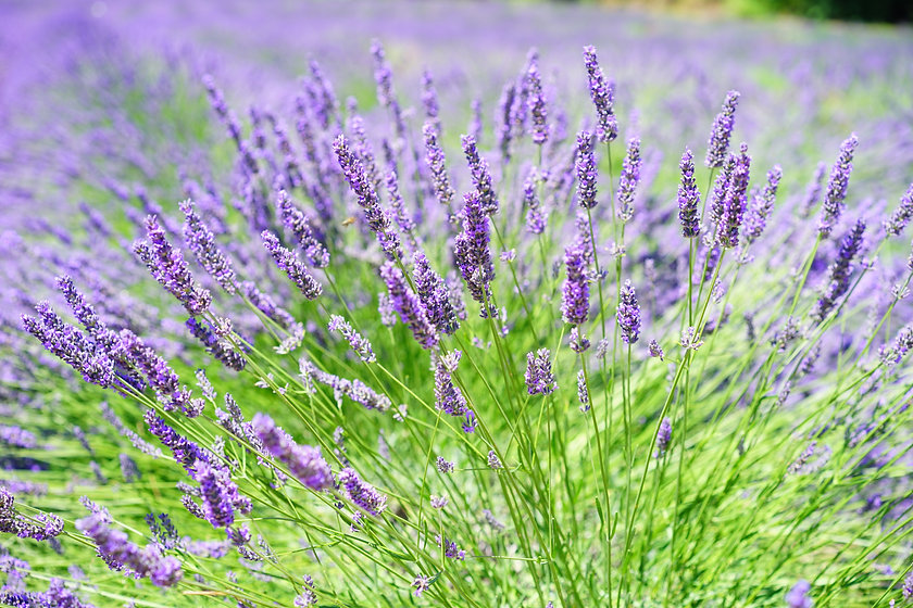 close-up-photo-of-lavender-growing-on-fi
