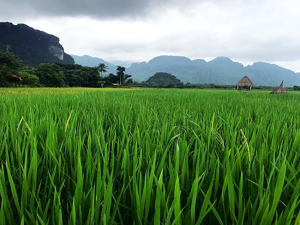 rice fields, laos, is laos a country, laos travel, laos where to visit, laos vang vieng, laos luang prabang