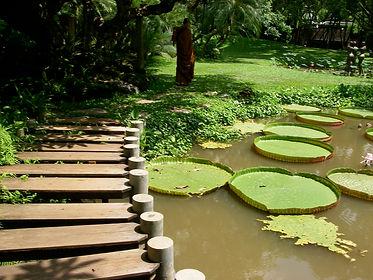 pond with rustic wooden bridge alongside large lotus leaves