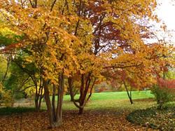 Stewartia species trees