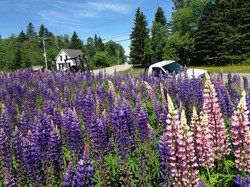 Lupines in bloom