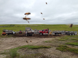 dropping bees in a holding yard