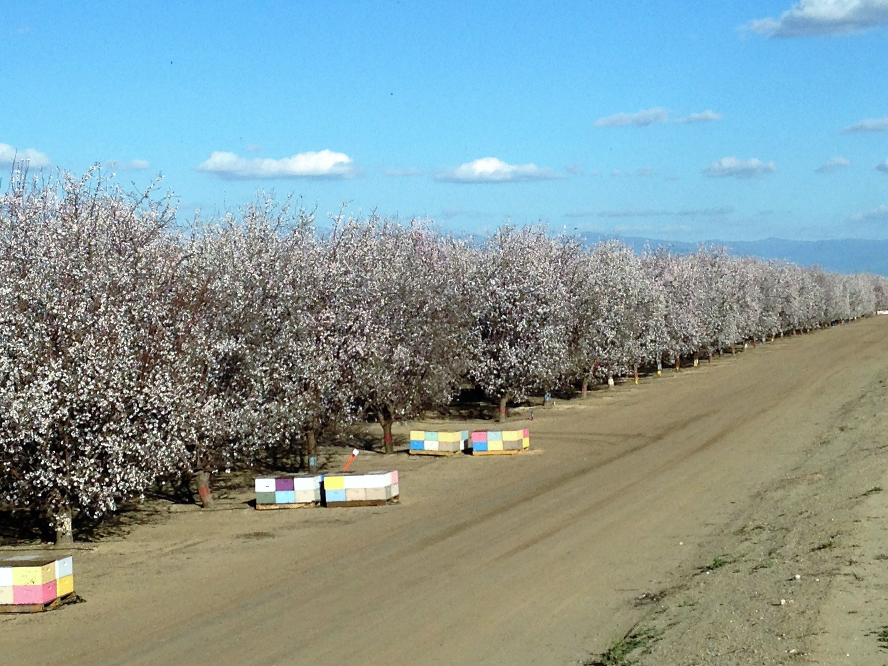 Maricopa Orchards in Bloom
