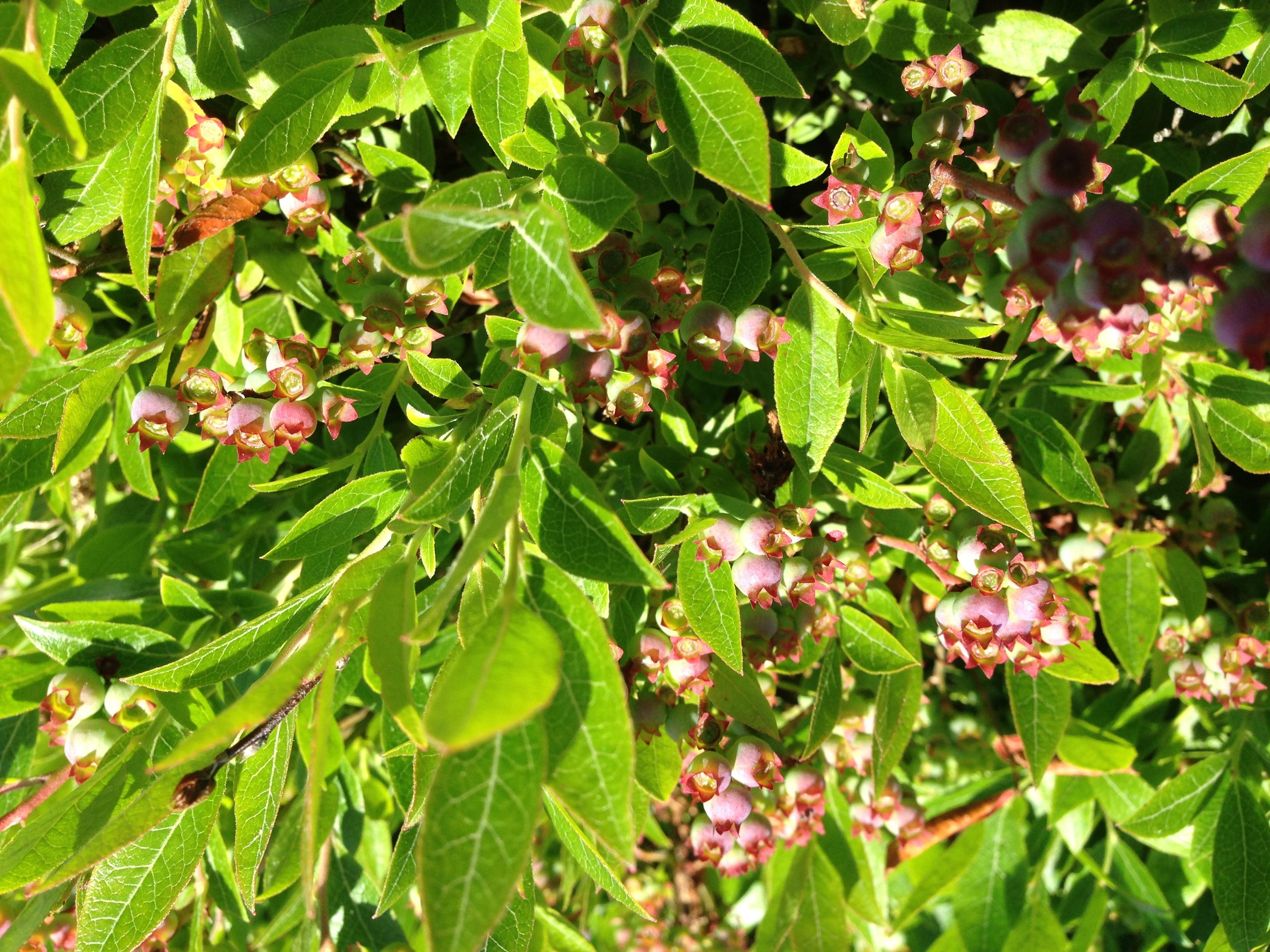 Berries forming