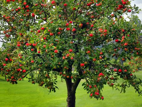 משל התפוחים