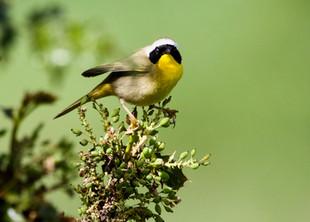 Common yellow-throat