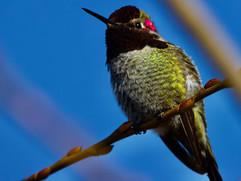 Larger Anna's Hummingbird