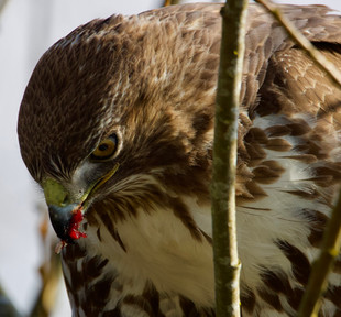 Red tailed hawk having lunch