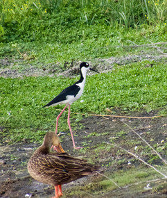 Black-necked Stilt and Laughing duck