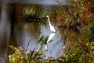 Great Egret at Fernhill