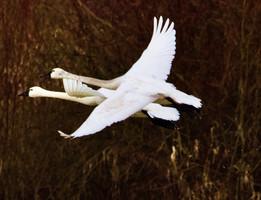 Trundra swans flighting very close