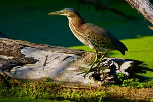 Green Heron at TRNWR