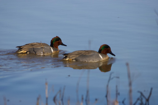 Two Green winged teals