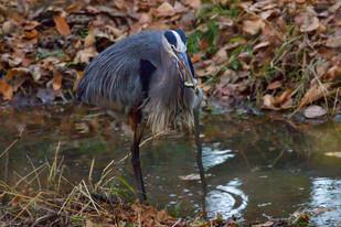 Great Blue Heron at TRNWR
