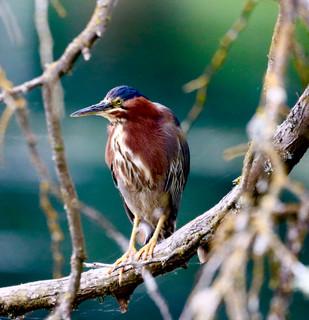 Green Heron at Crystal Springs