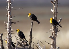 Yelow-headed blackbird
