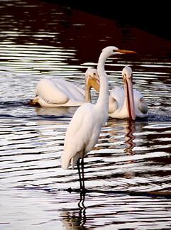 Egret and Pelicans