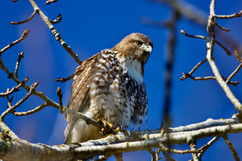 Roosting red-tailed hawk