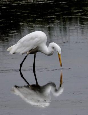 An Egret fishing at Fernhill