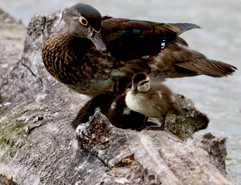 Wood duck with duckling