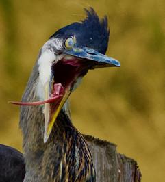 Yawning Great Blue Heron