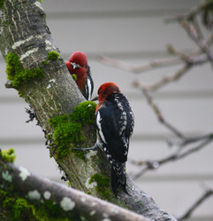 Two Red-breasted Sapsuckers