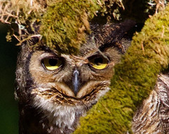 Great-Horned Owl looking through branches