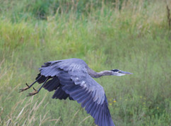 GBH in flight at the refuge