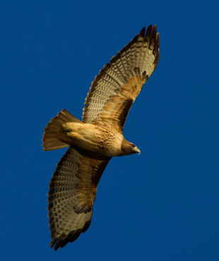 Red-tailed hawk_