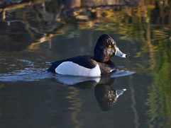 Ringed-necked duck