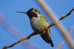 Smaller Anna's Hummingbird